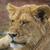 pequeño · león · madrugada · luz · desierto - foto stock © bradleyvdw