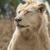 fehér · férfi · oroszlán · portré · afrikai · fej - stock fotó © bradleyvdw