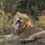 лев · молодые · Кения · трава - Сток-фото © bradleyvdw