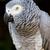 africano · cinza · papagaio · retrato · olho · pássaro - foto stock © bradleyvdw