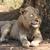 lui · jonge · mannelijke · leeuw · schaduw · twee - stockfoto © bradleyvdw