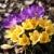 roxo · açafrão · escondido · folhas · flor · primavera - foto stock © brebca