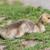 canada goose branta canadensis gosling stock photo © brianguest