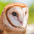 barn owl stock photo © brm1949