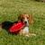 beagle stock photo © brm1949