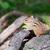 çizgili · sincap · meraklı · sincap · bekleme - stok fotoğraf © brm1949