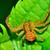 krab · spin · witte · buit · natuurlijke · groene - stockfoto © brm1949