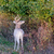 piebald whitetail deer buck stock photo © brm1949