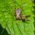 harvestmen spider stock photo © brm1949