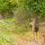 鹿 · バック · 茂み · 森林 · 枝角 · ベルベット - ストックフォト © brm1949