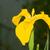 iris · eller · gizlenmiş · sarı · bayrak - stok fotoğraf © brm1949
