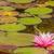 paars · water · lelie · bloesem · moeras - stockfoto © brm1949