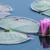 paars · water · lelie · vijver · bloem · natuur - stockfoto © brm1949