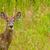 Jeleń · lasu · charakter · przyrody · mężczyzna - zdjęcia stock © brm1949