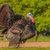 wild turkey meleagris gallopavo stock photo © brm1949