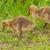 カナダ · ガチョウ · 公共 · 公園 · 鳥 · パス - ストックフォト © brm1949