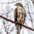 red tailed hawk stock photo © brm1949