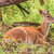 whitetail deer doe stock photo © brm1949