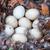 утки · гнезда · девять · птица - Сток-фото © brm1949