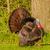 sauvage · Turquie · Homme · printemps - photo stock © brm1949