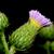 thistle blossom stock photo © brm1949