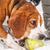 Beagle · мало · сонный · собака · черный - Сток-фото © brm1949