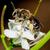 bee · verzamelen · honing · roze · bloem · voedsel - stockfoto © brm1949
