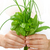 hands of young woman holding fresh herbs basil chive sage stock photo © brozova