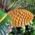 Cycad cone, Encephalartos Transvenosus - Monte Palace botanical garden, Monte, Madeira stock photo © brozova