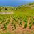vineyards southern coast of hvar croatia stock photo © brozova