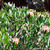 protea blossoms sugarbush   monte palace botanical garden monte madeira stock photo © brozova