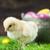 bucket full of easter eggs and chicken stock photo © brunoweltmann