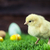 easter chicken eggs and decorations stock photo © brunoweltmann