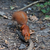 red squirrel in autumn forest stock photo © bsani