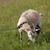 goat grazing on meadow stock photo © bsani