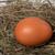 chicken egg in nest stock photo © bsani