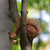 red squirrel on tree with walnut in mouth looking down stock photo © bsani