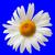 rumianek · niebieski · widoku · kwiat · piękna - zdjęcia stock © bsani