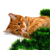 red headed kitten lying on its side and play with christmas deco stock photo © bsani