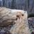 tree after beavers job stock photo © bsani