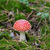 red amanita muscaria mushroom in moss stock photo © bsani