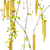 spring twigs of birch with young leaves and catkins stock photo © bsani