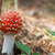 red amanita muscaria mushroom in forest stock photo © bsani