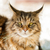 maine coon cat sitting in the garden stock photo © bubutu