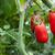 paradicsomok · piros · paradicsom · növény · kertek · étel - stock fotó © Bumerizz