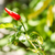 One red chilli on tree stock photo © Bunwit