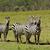 zebra · park · Afrika · Kenya · absztrakt · természet - stock fotó © byrdyak