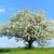 blossoming tree in spring stock photo © byrdyak