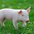 молодые · свинья · фермы · профиль · мнение · цвета - Сток-фото © byrdyak
