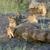 лев · африканских · парка · Кения · Африка - Сток-фото © byrdyak